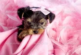 Pink Everthing Rayray Cute Puppies Puppy Chewing Yorkshire Terrier Puppies