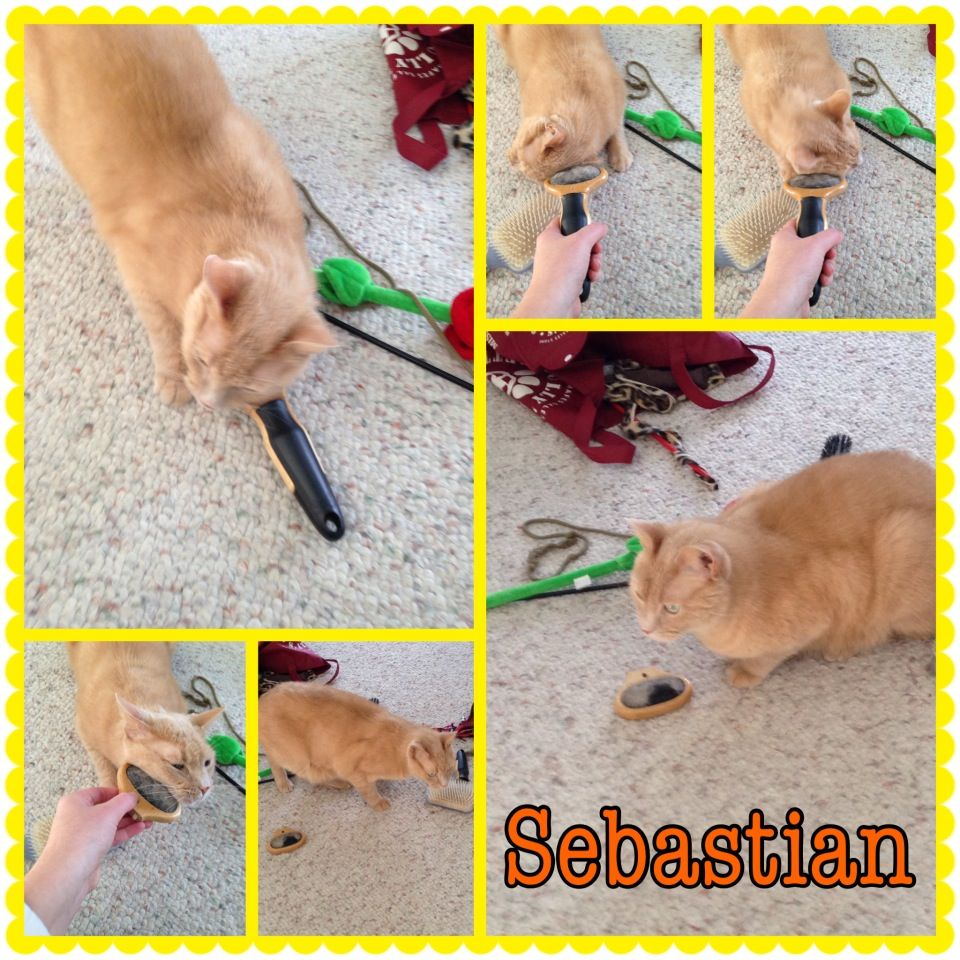 Sebastian getting a good brush. Submitted by sitter Barbara.