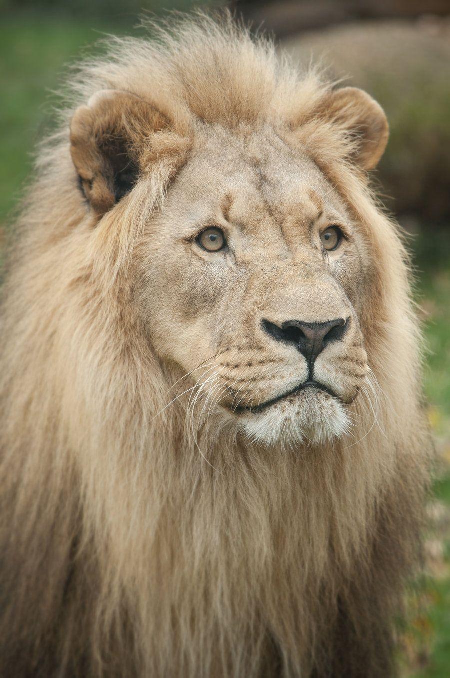 Lion, Salzburg I by GW-Photography.deviantart.com on @deviantART