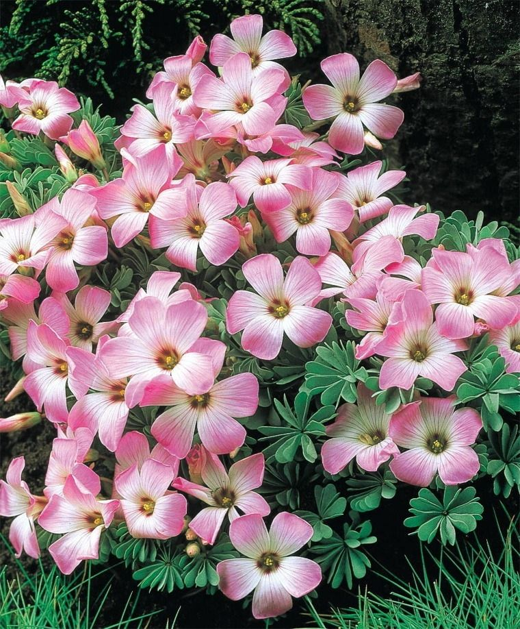 Late spring early summer full partial sun oxalis adenophylla wood sorrel oxalis adenophylla native to south america this lovely ground cover blooms in may june perfect for rock gardens and borders mightylinksfo Image collections