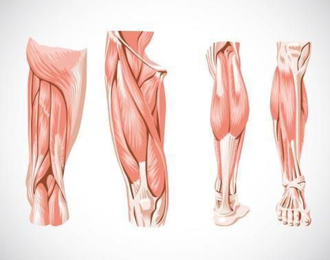 muslo musculo sin nombre - Buscar con Google | anato | Pinterest ...