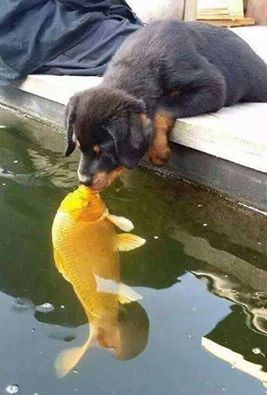 Just a dog kissing a koi...
