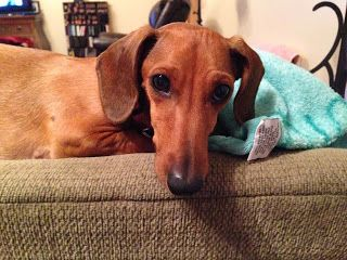 Cami Rescued From Ocas By Getalong Dachshund Rescue Fostered In