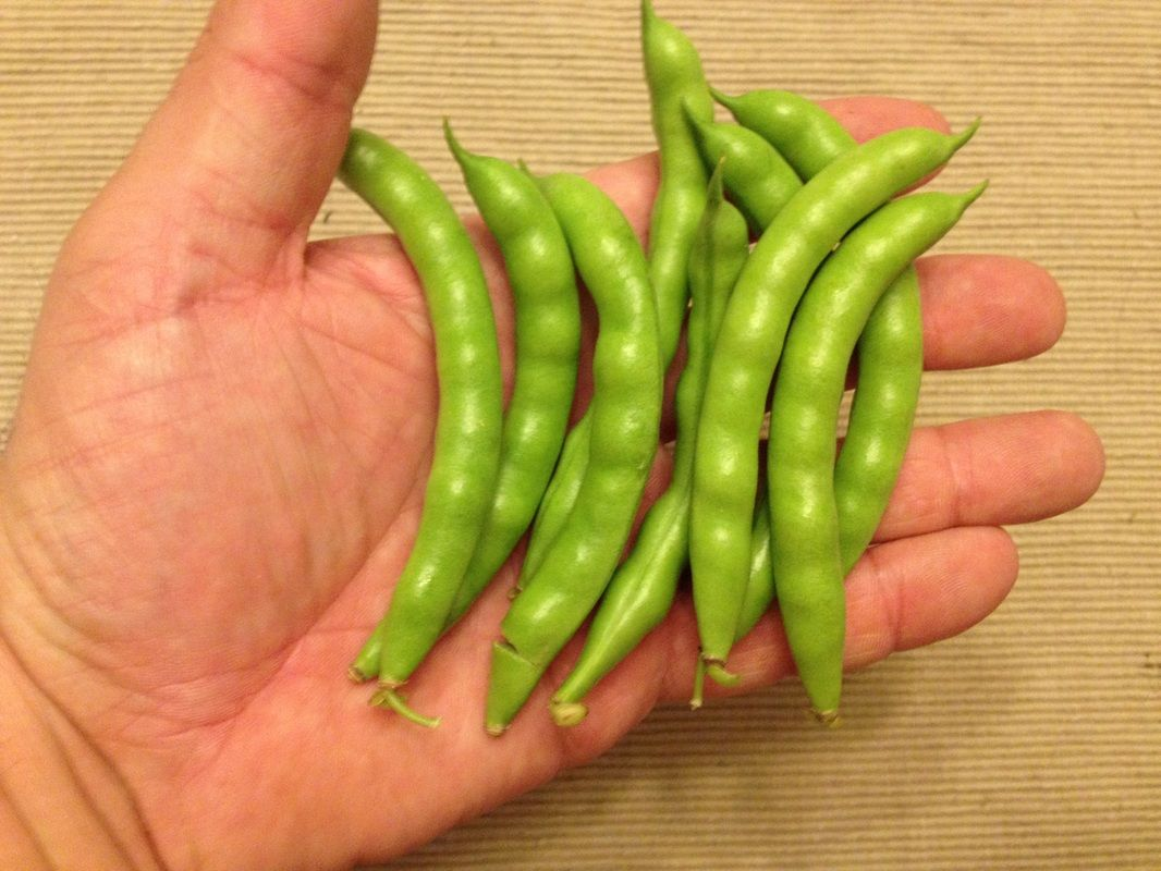 greasy beans sustainable mountain agriculture center heirloom seed catalog