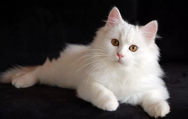 Ciri Ciri Kucing Persia Medium Fakta Dan Harganya Di 2020 Kucing Kucing Himalaya Kucing Persia
