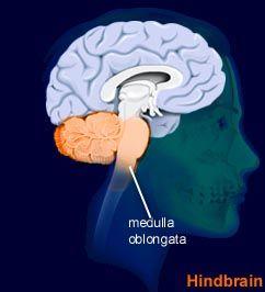 Medulla Oblongata Location