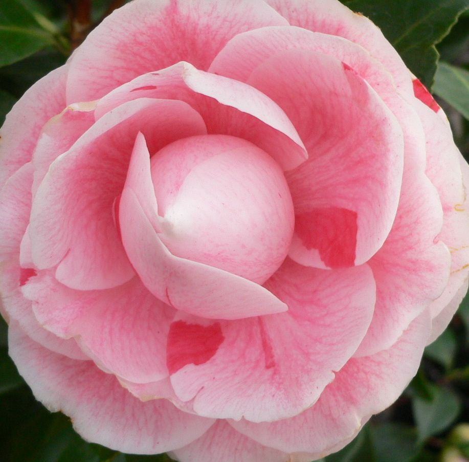 Japanese Camellia Camellia Japonica Rose Pinterest Camellia
