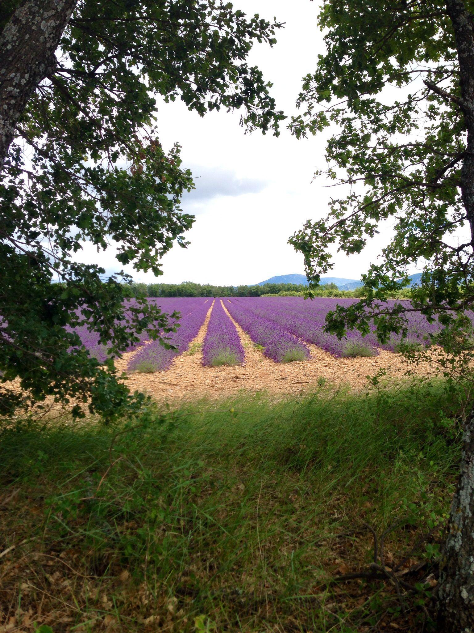 Lavendelåkre i Provence