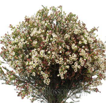 Wax flower buy fresh white waxflower for wedding kerikate wax flower buy fresh white waxflower for wedding mightylinksfo Choice Image