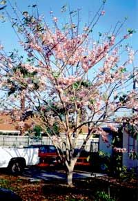 Cassia bakeriana, Dwarf Apple Blossom Tree, Pink Cassia, Pink Shower Cassia, Wishing-tree