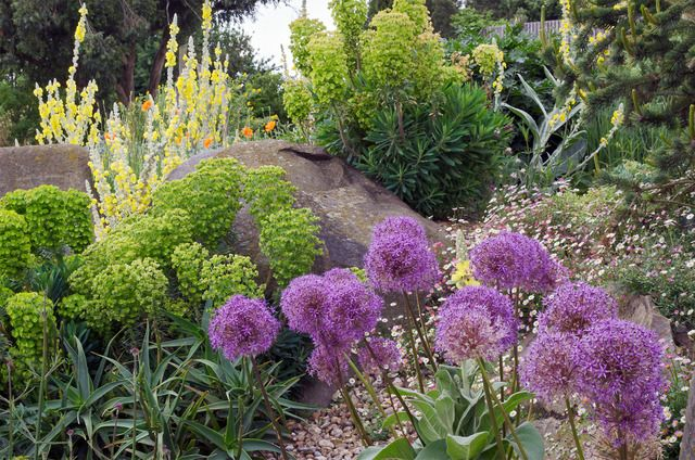 jardin ornemental jardin sec ail d 39 ornement et euphorbes jardins secs et rocailles. Black Bedroom Furniture Sets. Home Design Ideas