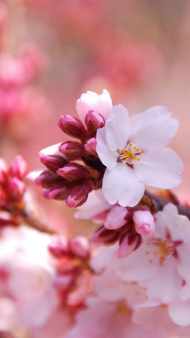 Download Charrey Blossom Iphone Wallpaper Hd 60vvf Flower