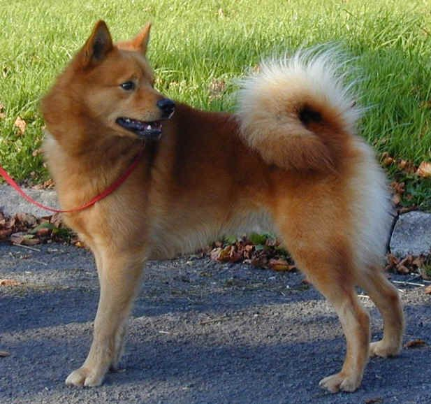 Finnish Spitz Dog Finnish Spitz Spitz Dogs Dogs