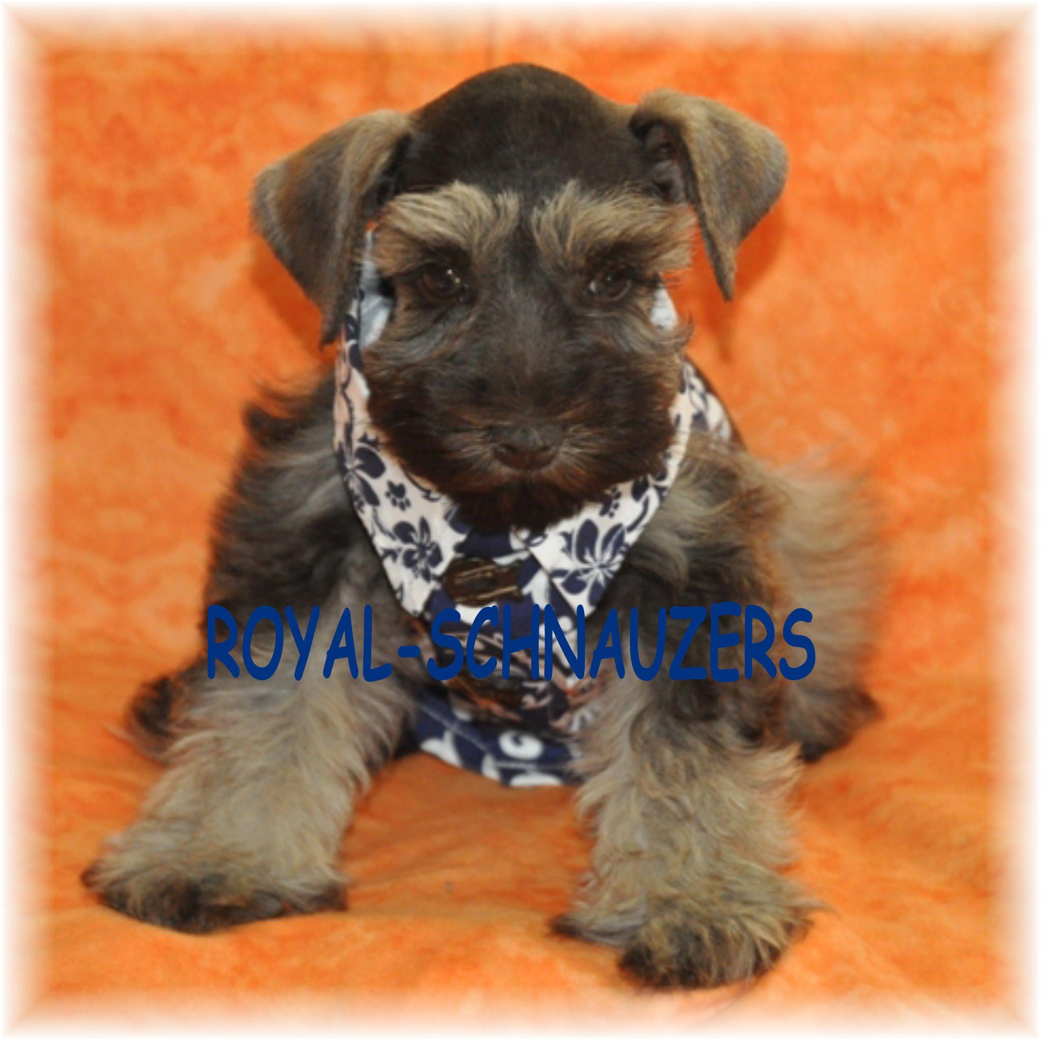 Liver Pepper Baby Schnauzer Schnauzer Puppy Puppies Miniature Schnauzer Black