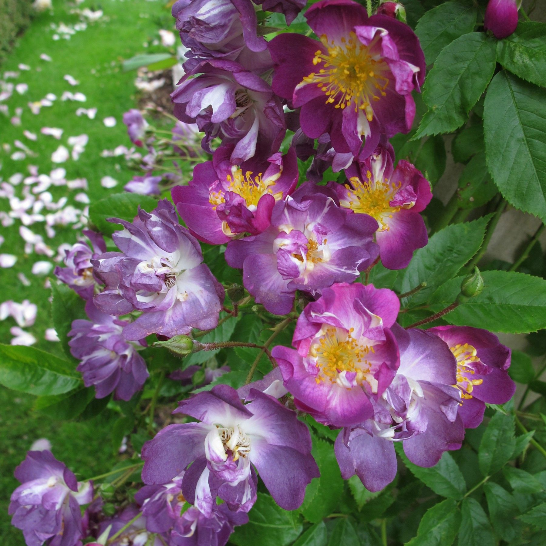 Types of Fragrant Climbing Plants