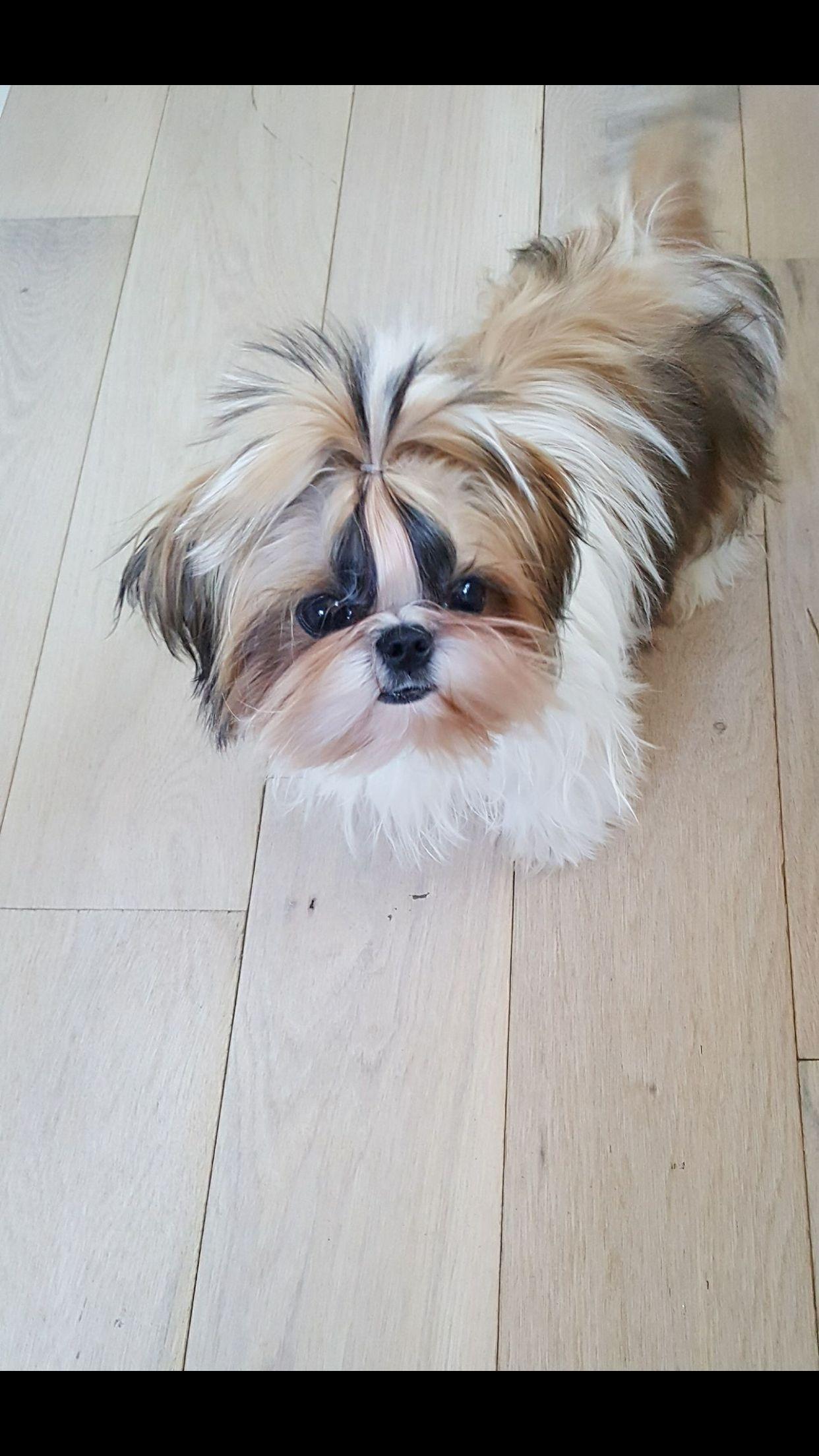 Mr Darcy Shihtzu Shih Tzu Dog Shih Tzu Shih Tzu Puppy