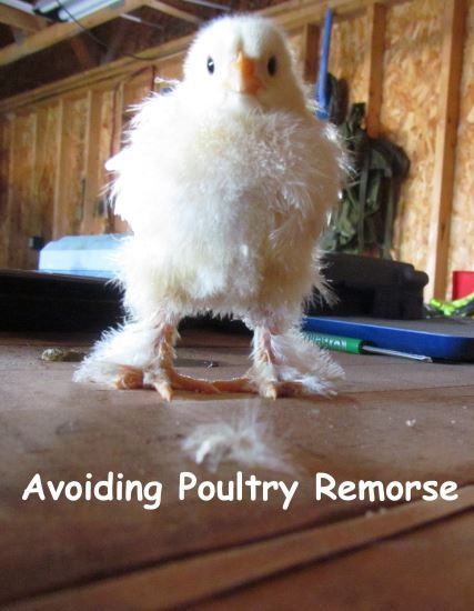 """""""Be prepared for disasters. Have a chicken first aid kit ready. The best resource by far is the blog """"The Chicken Chick"""" by Kathy Shea Mormino. She has fantastic informational posts about any chicken thing you can dream. Her information has helped me save a dog chewed chicken and taught me how to treat mite infestations efficiently."""""""