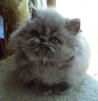 Blue Male Persian Kitten For Sale For Sale Adoption From Lancaster Kentucky Adpost Com Classi Persian Kittens For Sale Persian Kittens Persian Cats For Sale