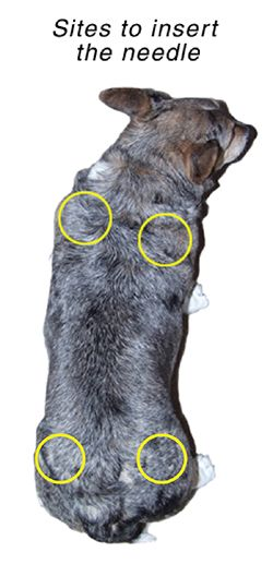 Subcutaneous Fluid Administration in Dogs Diabetic dog
