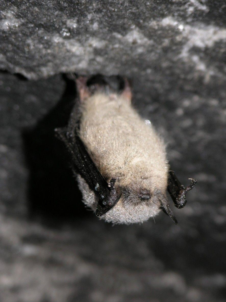 Une petite chauvesouris brune dans la caverne Laflèche