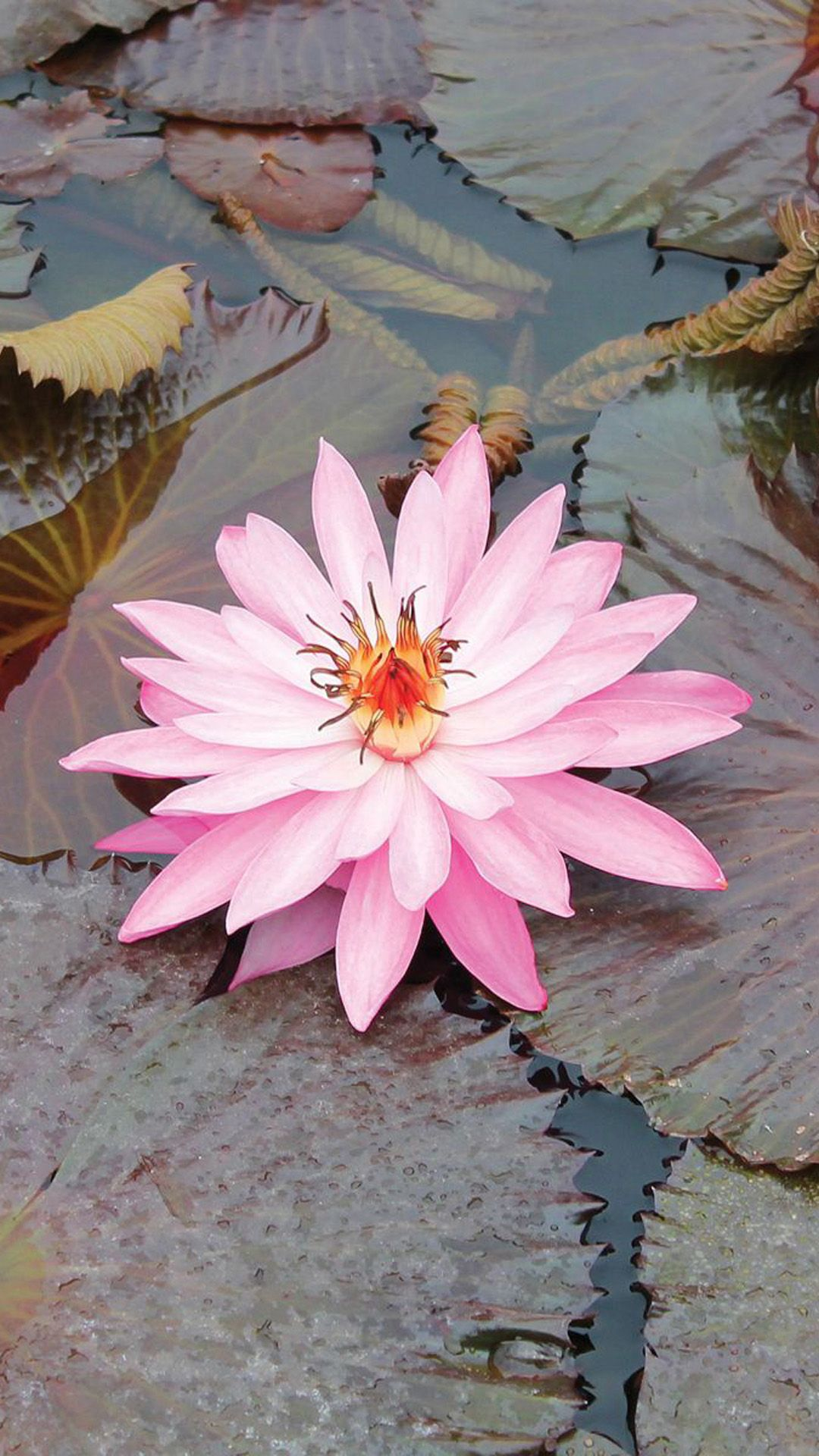 Tap and get the free app nature beautiful lotus pink gorgeous nature beautiful lotus pink gorgeous flower hd iphone 6 plus wallpaper izmirmasajfo