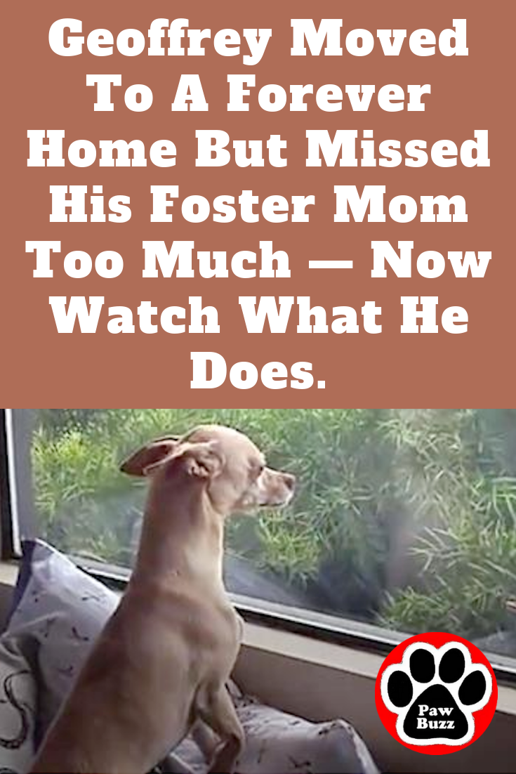 Geoffrey Moved To A Forever Home But Missed His Foster Mom Too Much Now Watch What He Does Foster Mom Dogs Dog Stories Heartwarming