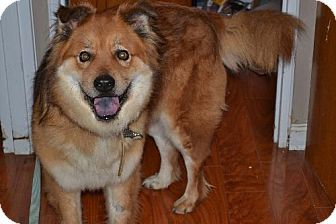 Maverick 5 Yr Old Super Affectionate Chow Chow Castle Of Dreams