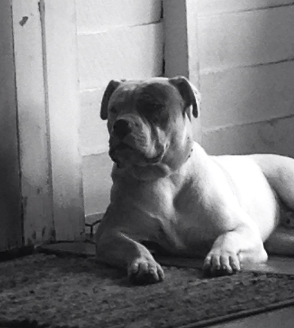Johnson Bulldog Bronx American Bulldog Johnson Bulldog