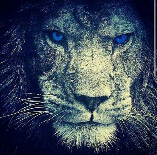 Blue Eyed Lion Lions Leo Lion Lion Art