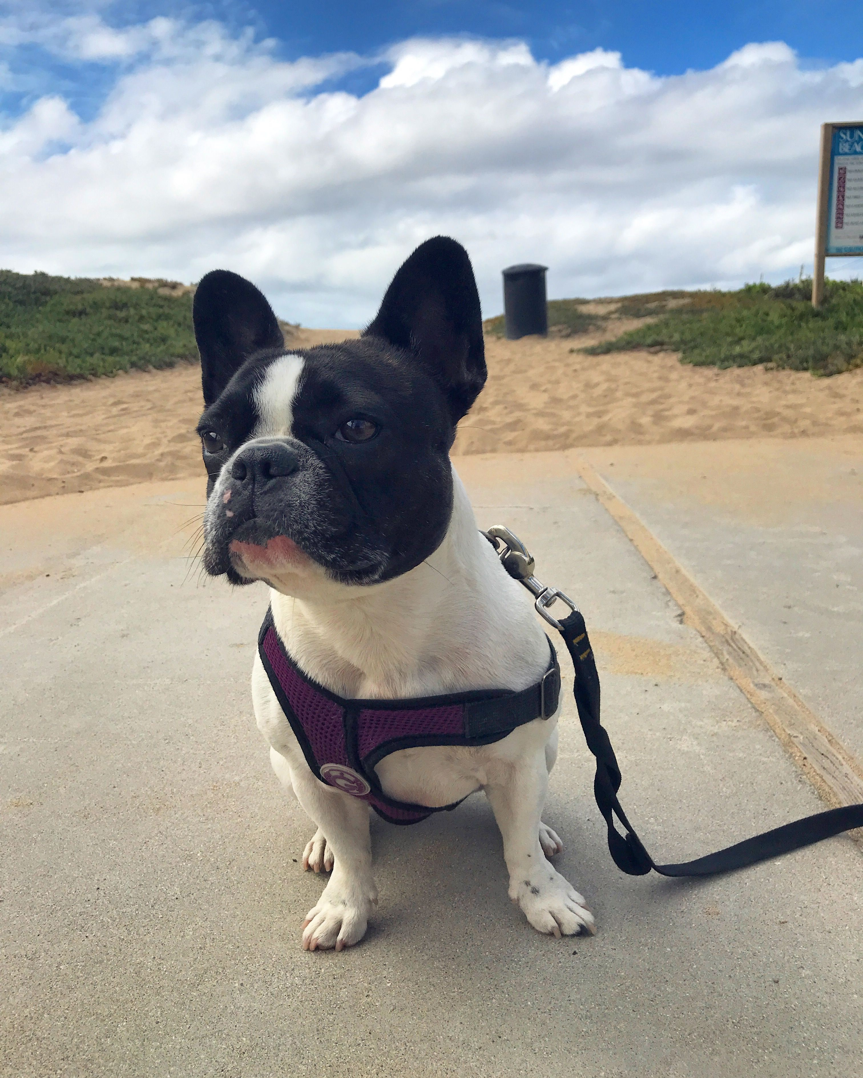 Stella the French Bulldog at the Beach Baby dogs, Dog