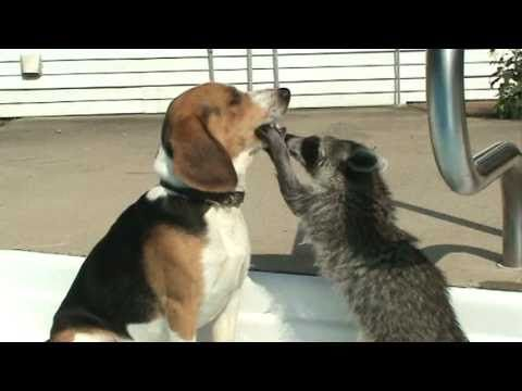 "Raccoon Plays Beagle Dentist... ""I see it now... looks like you have teeth."""