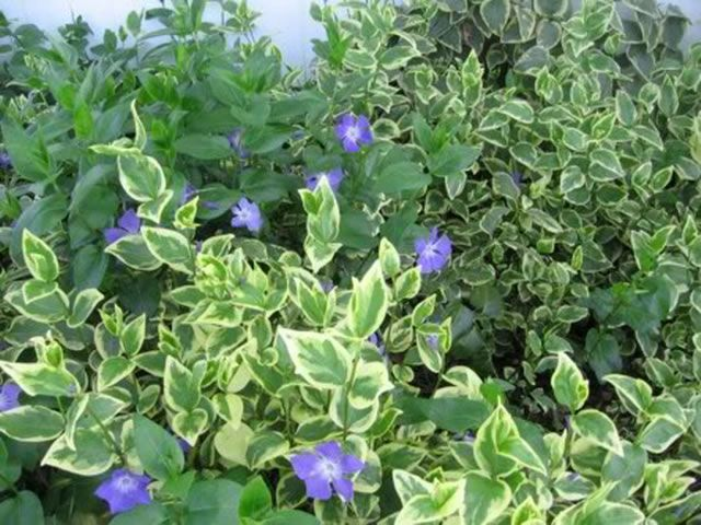 A Mixture Of Variegated And Green Periwinkle Plants Vinca