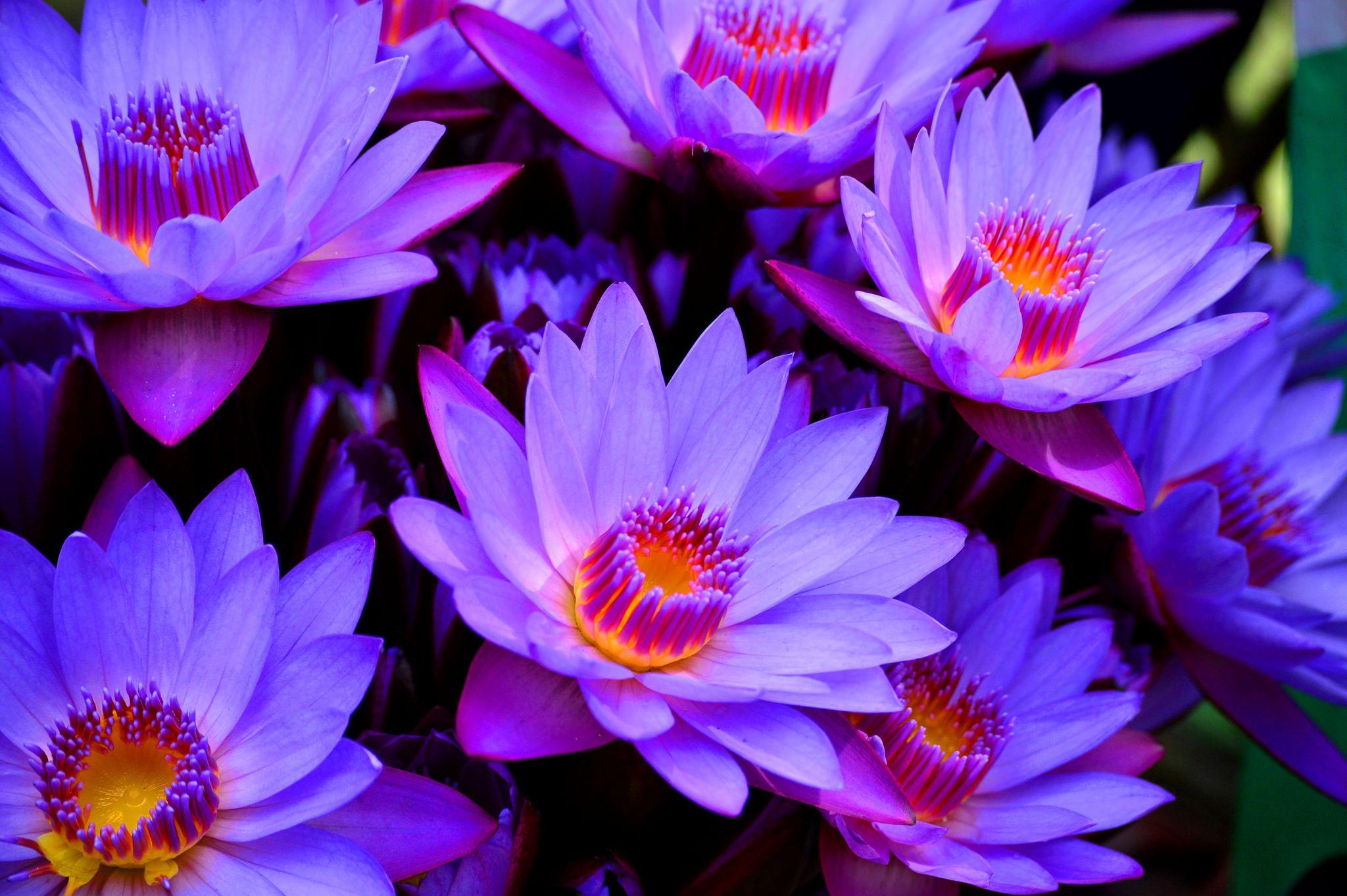 Mesmerizing Blue Bangladesh Lotus Flower Wallpaper Blue Lotus