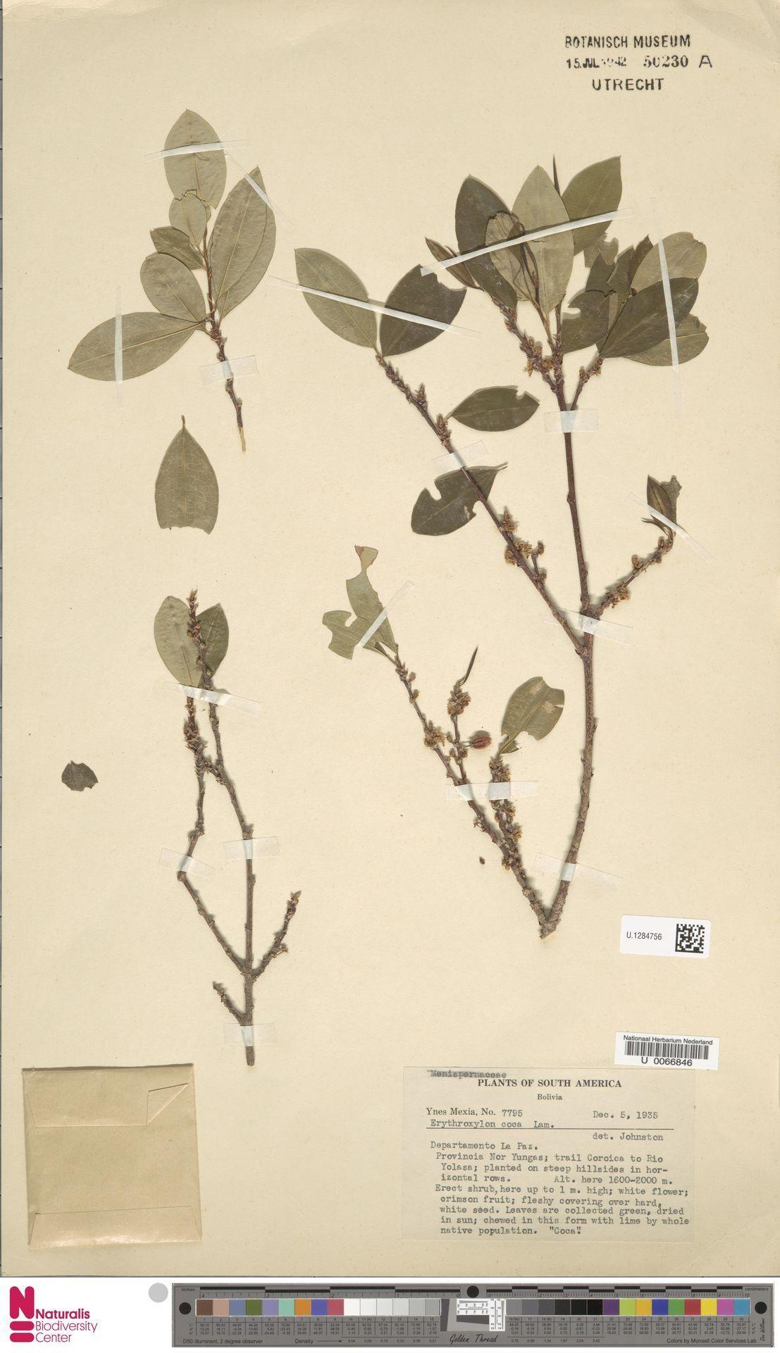 U.1284756 | Erythroxylum coca Lam.