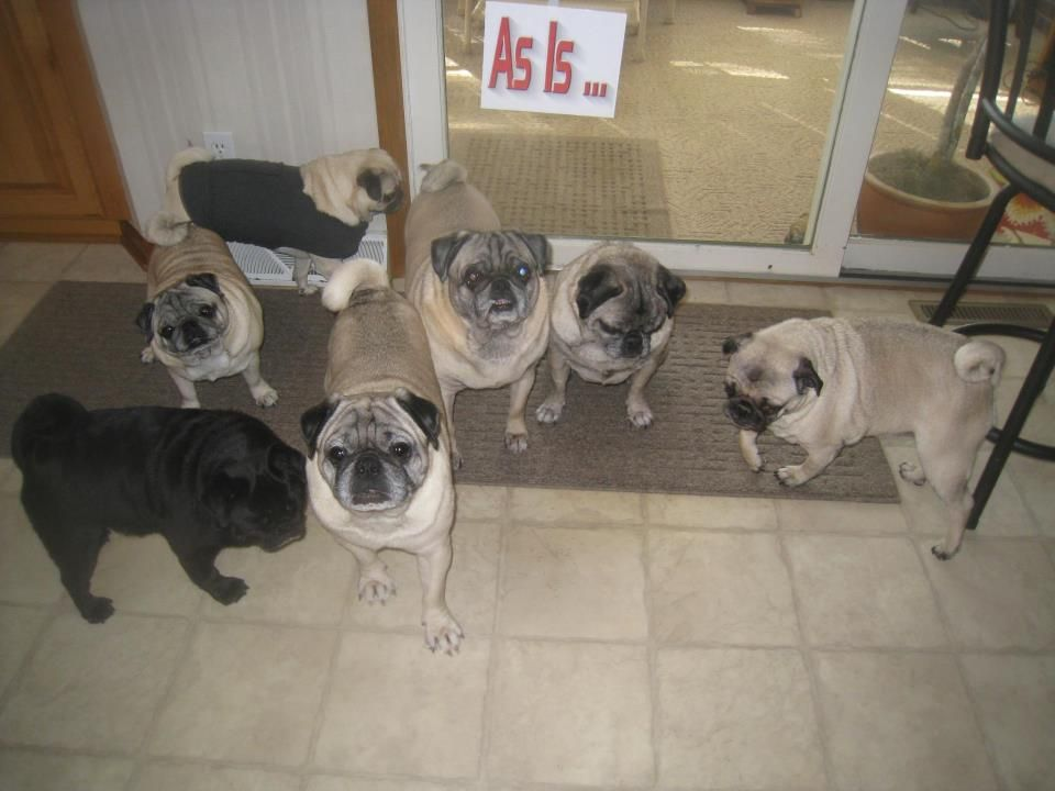 My 7 Rescues Pugs Pug Rescue Pugs Cute Animals