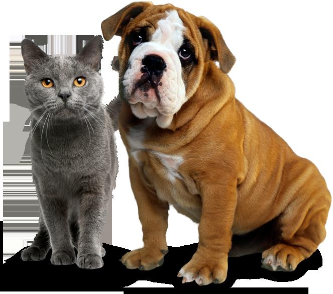 A Bulldog and his cat