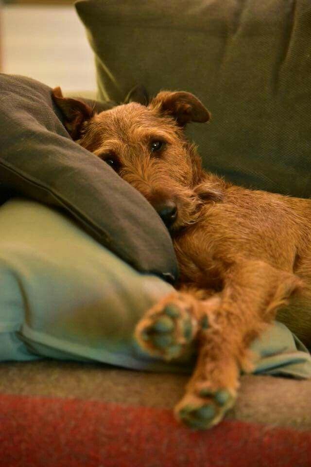 Sleepy Time Irish Terrier Puppies Airedale Dogs Irish Dog