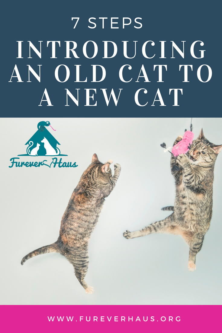 How To Introduce Your Old Cat To A New Cat Can Be Challenging Old Cats Cat Care Cat Training