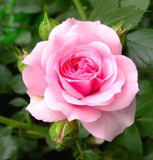 Gambar Bunga Mawar Yang Cantik Mempesona _pink Roses