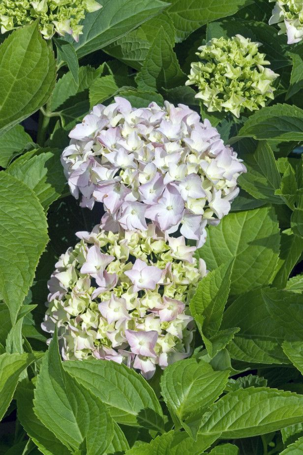 Hydrangea Macrophylla Mini Penny Hardy In Zones 5 To 9 Mini Penny Tops Out At 2 To 3 Feet High The Big Mophea With Images Hydrangea Varieties Plants Hydrangea Garden
