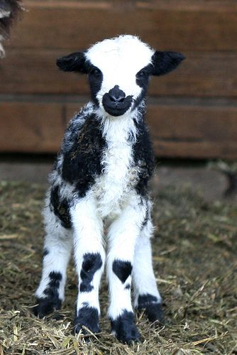 Jacob sheep just a few hours old