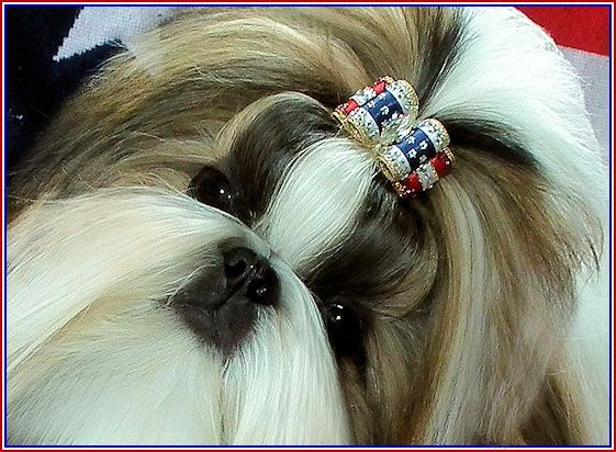 Sammy Beautiful Shih Tzu Beautifully Groomed Mr Foo S Shih