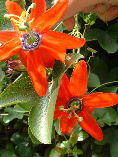 """Bright, flaming red, 4"""" flowers. The vine is very large and vigorous, so it is best planted in the ground and used to rapidly cover a trellis or fence. Once the vine gets large, it will be covered wit"""