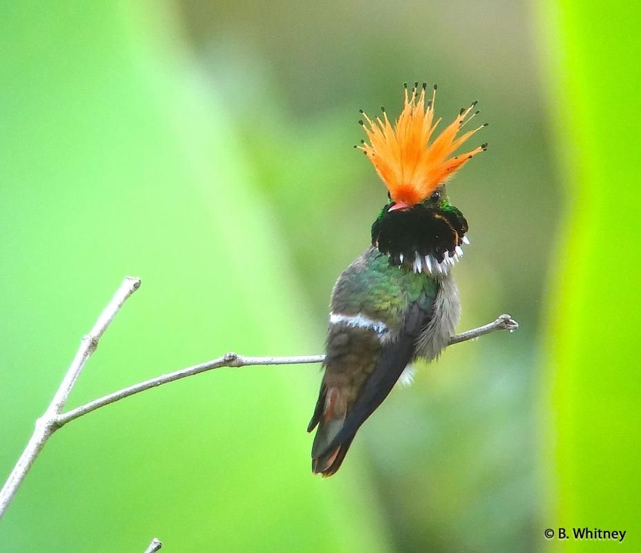 Photos of Rufouscrested Coquette (Lophornis delattrei