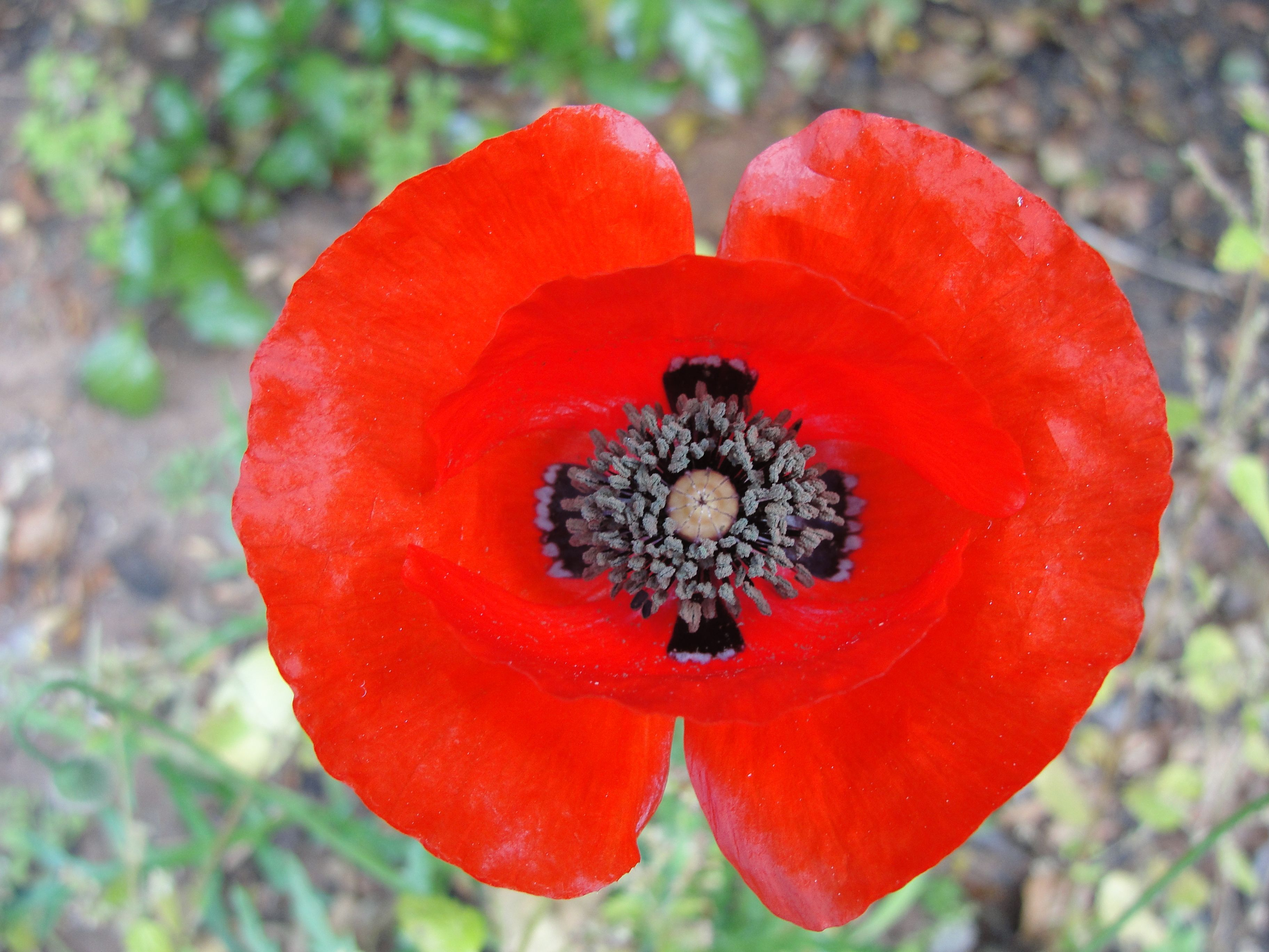 Red Poppy Flower   Color red and Shopping