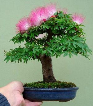 Mimosa Bonsai Albizia Also Known As Silk Tree Mimosa By Artist Nam Toan The Bonsai Mimosa Created From Alb Flowering Bonsai Tree Bonsai Tree Bonsai Flower