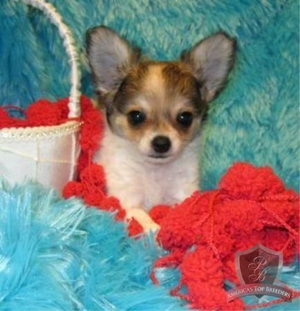 Bentley The Male Chihuahua Tennessee Chihuahua Breeders