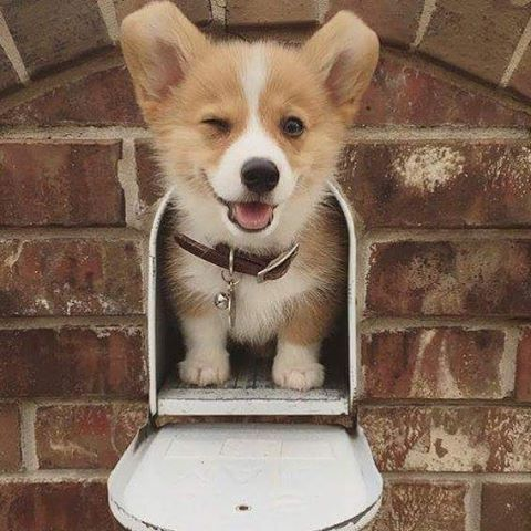 I Need A Corgi Corgi Floof Looking For A New Home In The Houston Area Www Newhomes288 Com Cute Animals Puppies Corgi Dog