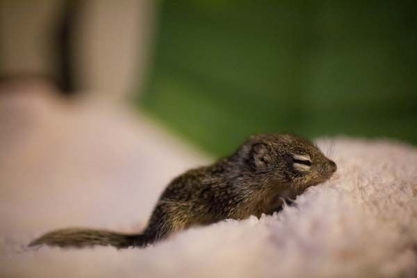 It Would Be Hard Not To Cuddle This Cutie Daily Baby Squirrel Cute Cute Squirrel