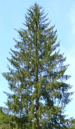 Types And Names Of Live Christmas Trees Live Christmas Trees Tree Natural Christmas Tree